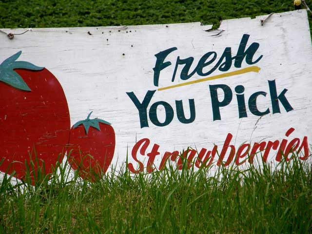 U-Pick strawberries in Eastern North Carolina