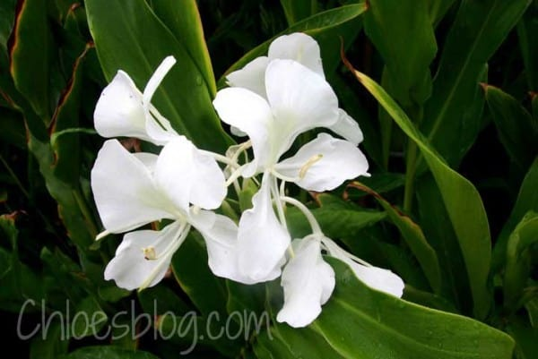 Ginger lilies bloom at Big Mill Inn and perfume the air   https://chloesblog.bigmill.com/spiderwort-edible-flower-in-the-big-mill-garden/