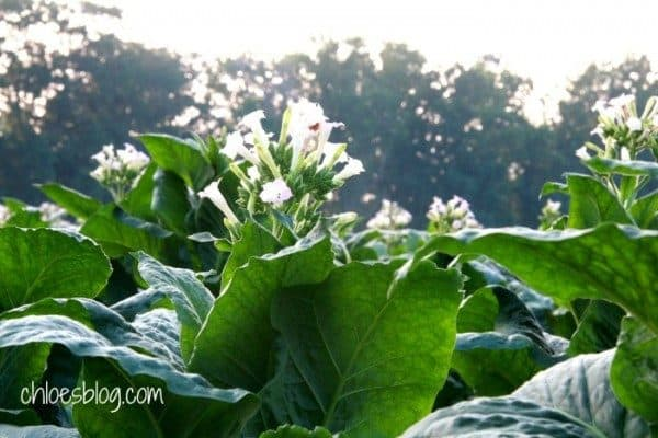 Tobacco is a beautiful plant and grows on the farm at Big Mill B&B | https://chloesblog.bigmill.com/whirligigs-and-tobacco/