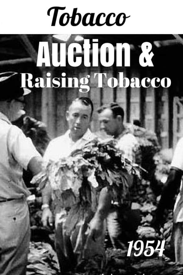 Tobacco-Auction-&-Raising-Tobacco @BigMill | www.chloesblog.bigmill.com/tobacco-big-mill-inn
