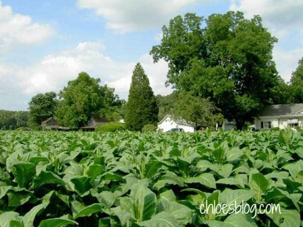 Tobacco-field-in-easten NC-Big-Mill-Inn @BigMill | www.chloesblog.bigmill.com/tobacco-big-mill-inn