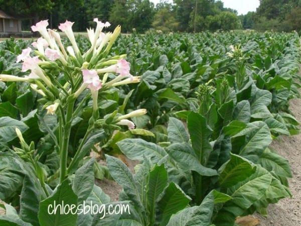 Tobacco flowers in field near Williamston, NC | Tobacco-field-in-easten NC-Big-Mill-Inn @bigmill | www.chloesblog.bigmill.com/tobacco-big-mill-inn