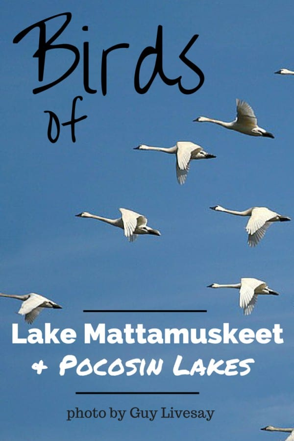 Birds of Pocosin Lake and Lake Mattumrskeet | https://chloesblog.bigmill.com/birds-of-lake-mattamuskeet-and-pocossin-lakes/