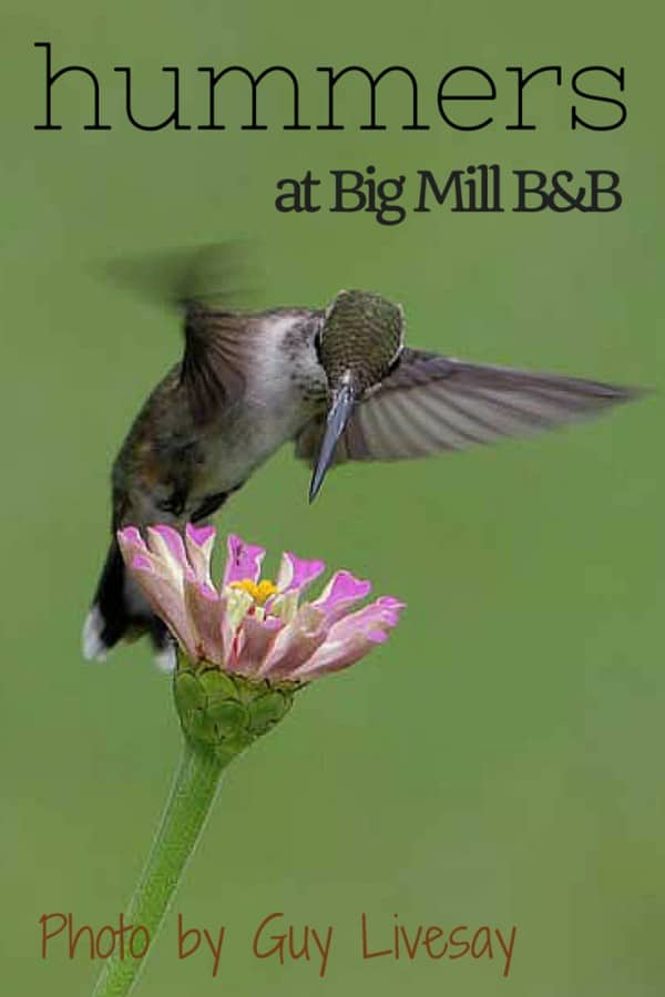 Hummers-at-Big-Mill-Inn | https://chloesblog.bigmill.com/hummingbirds-at-big-mill-bird-breakfast/