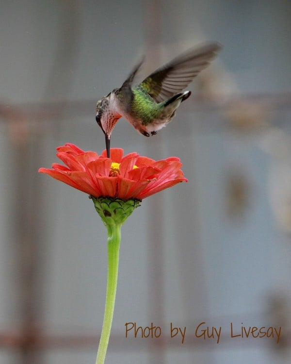 Hummingbird visits the garden at Big Mill Inn near Greenville | https://chloesblog.bigmill.com/hummingbirds-at-big-mill-bird-breakfast/