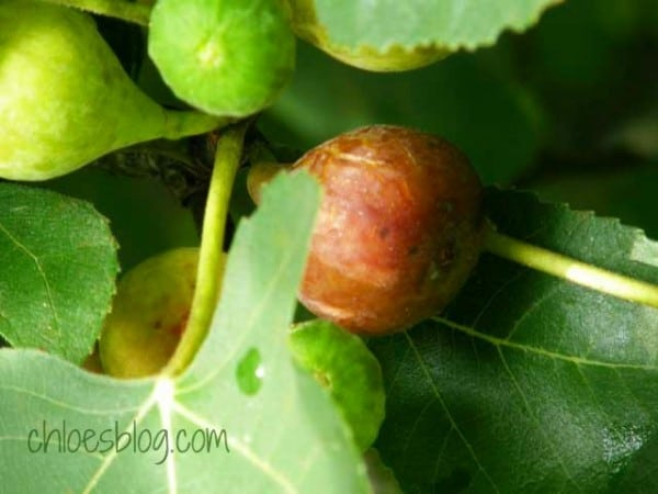 Fresh figs are a delicacy at Big Mill BB near Greenville NC @Bigmill.com | www.chloesblog.bigmill.com/miss-chloes-fig-preserves