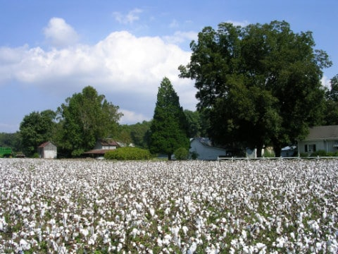 Cotton fields & Pecan Trees in eastern NC