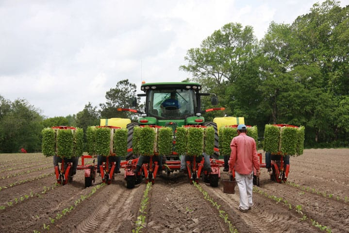 tobacco planting at Big Mill farm in Williamston, NC