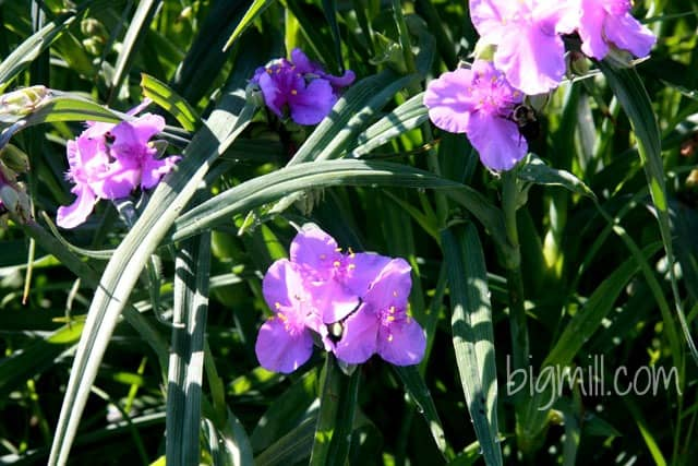 Edible spiderwort flower in the Big Mill garden eastern NC | https://chloesblog.bigmill.com/spiderwort-edible-flower-in-the-big-mill-garden/