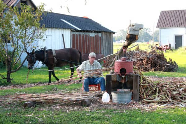 Making molasses in Bear Grass, NC near Big Mill Inn