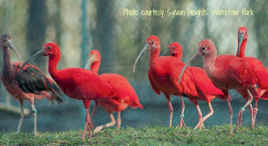 Colorful ibis at Sylvan Heights Waterfowl Park Scotland Neck | read more on Chloesblog.com