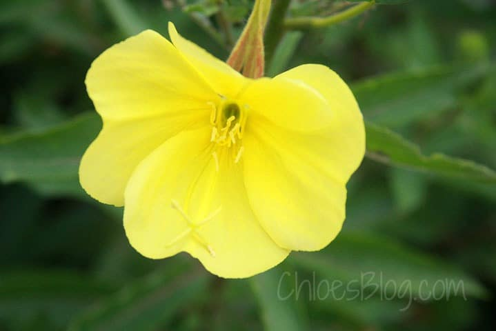 Evening Primrose at NC Bed and Breakfast | bigmill.com | #flowers