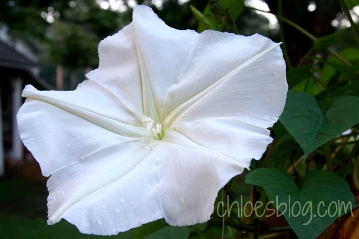 Fragrance garden at Big Mill Country Inn near Greenville, NC includes Moon Flowers