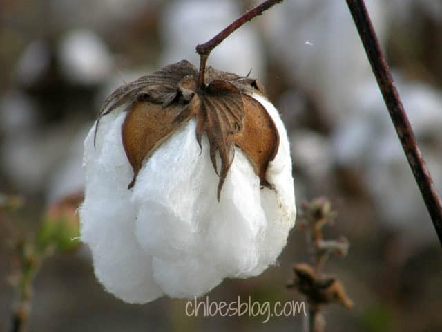 Cotton boll growing at Big Mill farmstead