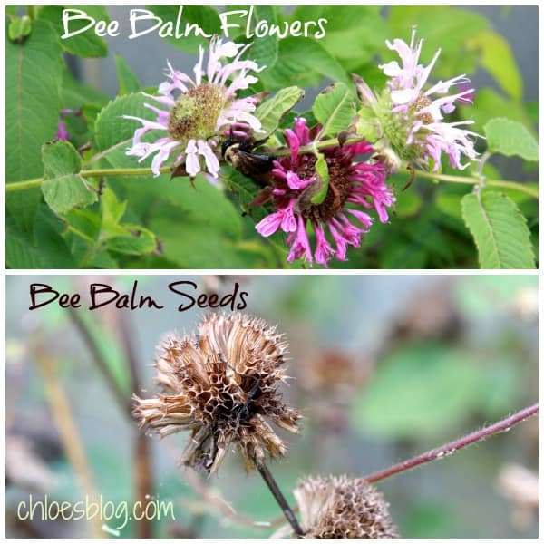 It's fun to compare flowers in their before and after states. These Bee Balm flowers and their seed pods are ready for harvest. Read more about how to save seeds for next year's planting on chloesblog.com | To everything, there is a season -- This Cleome flower and seed pod are living proof from Big Mill B&B garden in eastern NC Saving seeds from Cleome flowers at Big Mill Learn more about how to save seeds for next year on chloesblog.com | www.chloesblog.bigmill.com/how-to-save-flower-seeds