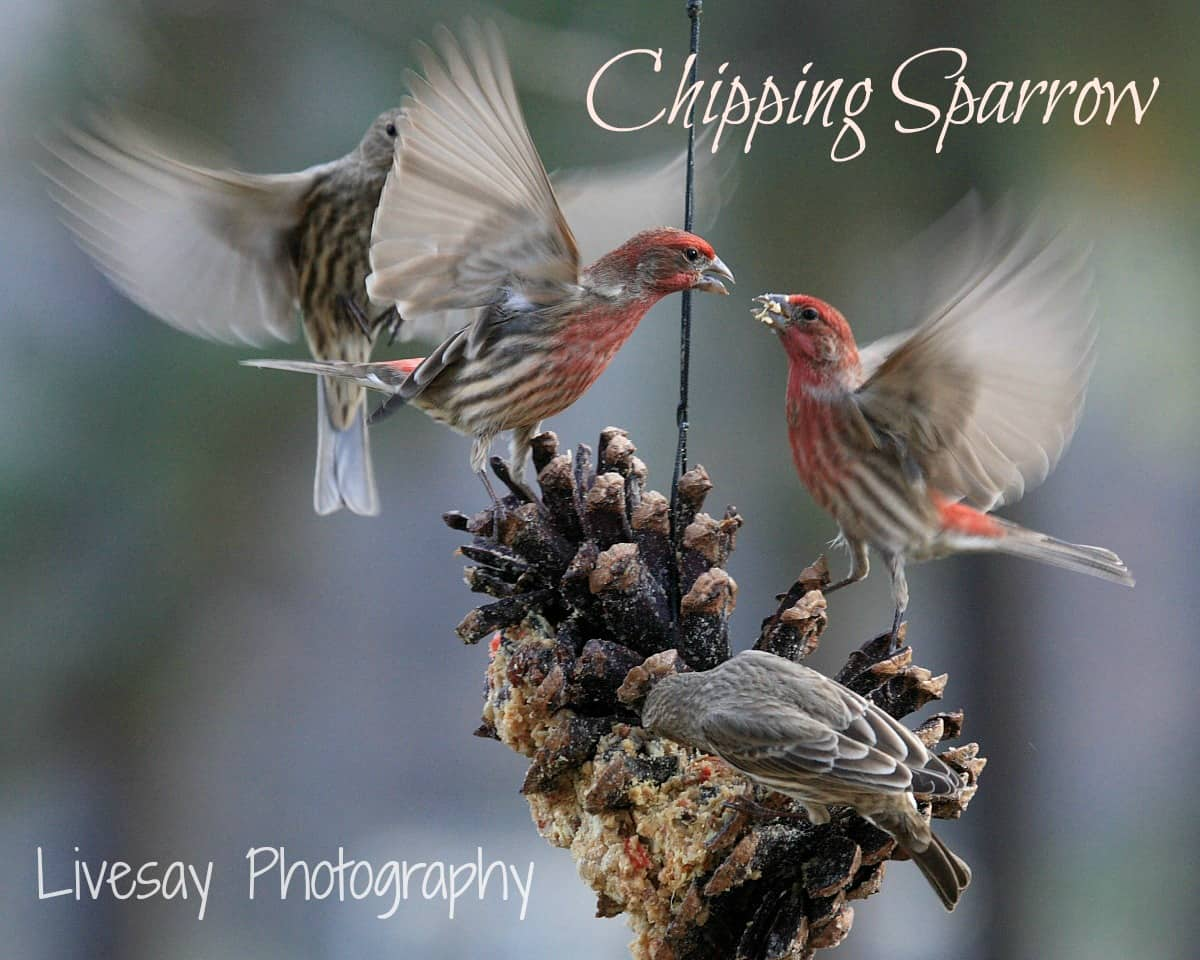 Chipping sparrow at Big Mill B&B | photo by livesayphotography.com
