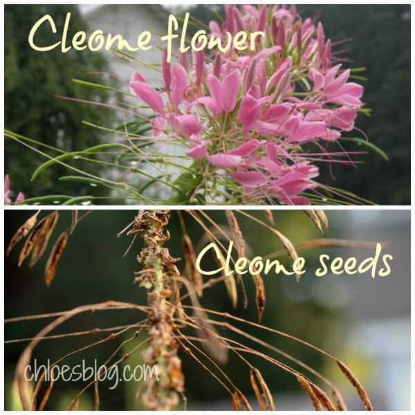 To everything, there is a season -- This Cleome flower and seed pod are living proof from Big Mill B&B garden in eastern NC Saving seeds from Cleome flowers at Big Mill Learn more about how to save seeds for next year on chloesblog.com | www.chloesblog.bigmill.com/how-to-save-flower-seeds