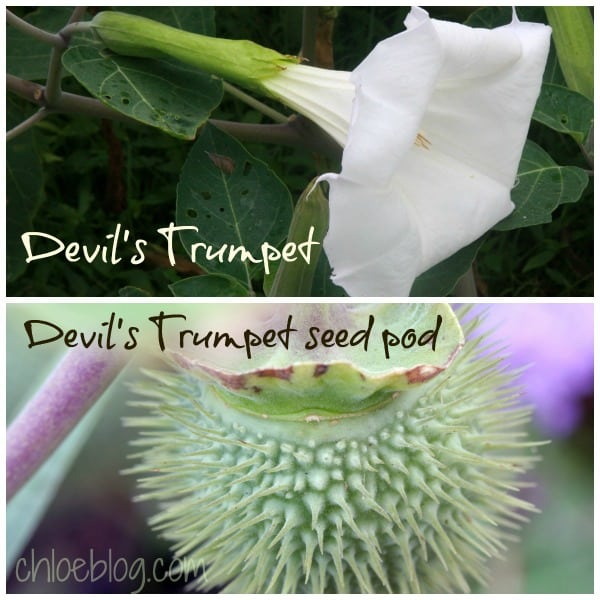 Datura or Devils Trumpet flower and seed pod from garden at Big Mill B and B. Learn more about saving seeds for next year on chloesblog.com | www.chloesblog.bigmill.com/how-to-save-flower-seeds