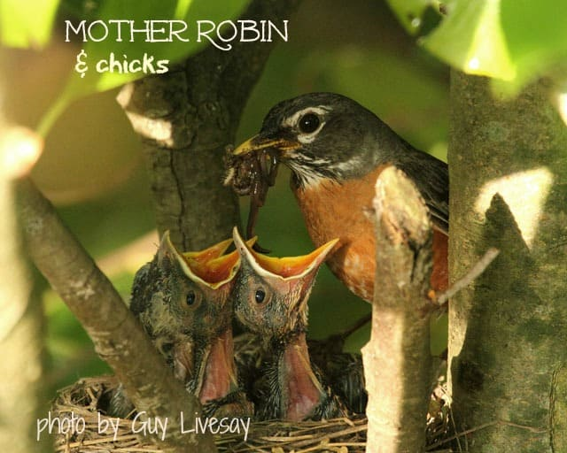 Mother robin feeding her chicks at Big Mill | www.chloesblog.bigmill.com/birds-that-help-garden-grow/