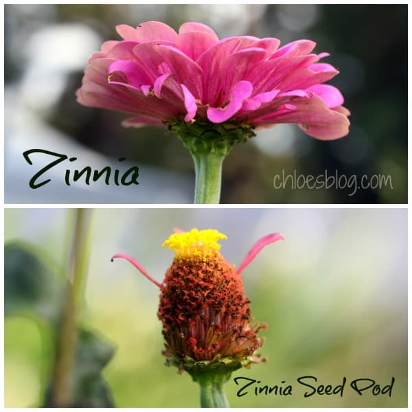 This lovely zinnia flower and its seed pod will be saved for next year's planting in Big Mill B and B garden. Learn more about saving seeds for next year on chloesblog.com | www.chloesblog.bigmill.com/how-to-save-flower-seeds