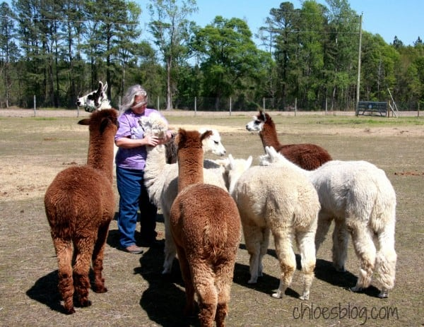 Alpacas getting ready for shearing, their fleece will be used by Innkeeper Chloe Tuttle | https://chloesblog.bigmill.com/spinning-and-knitting-alpaca-fleece