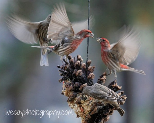 Chipping sparrows enjoy Suet at Big Mill B&B, a farm bed and breakfast in Eastern NC | https://chloesblog.bigmill.com//easy-homemade-suet-recipe