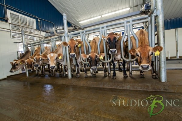 Milking machines at Simply Natural Creamery in Ormondsville, NC | chloesblog.bigmill.com/natural-dairy-simply-natural-creamery-in-eastern-nc