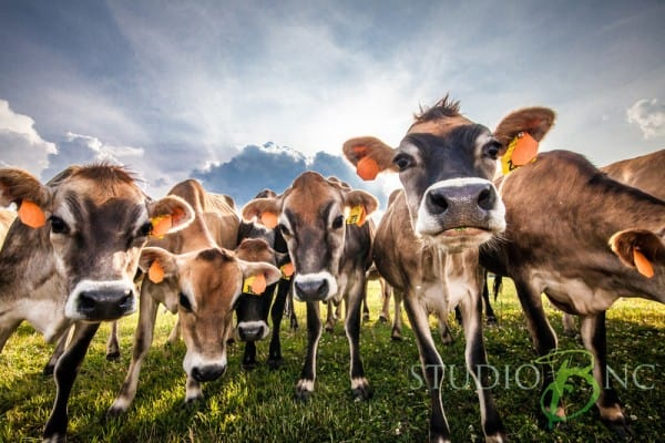 Cows are ready to greet folks at Simply Natural Creamery and Dairy in eastern NC, near Big Mill Bed and Breakfast | chloesblog.bigmill.com/natural-dairy-simply-natural-creamery-in-eastern-nc