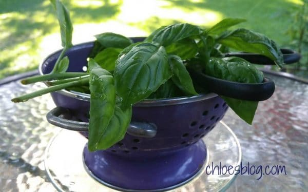 Basil is easy to grow and fresh Basil is perfect for making Pesto Genovese | https://chloesblog.bigmill.com/pesto-genovese-recipe-innkeeper-eastern-NC