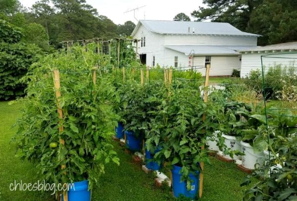 Rain Gutter Grow System Garden at Big Mill B&B in eastern NC | https://chloesblog.bigmill.com/rain-gutter-gardening-big-mill-bed-breakfast/