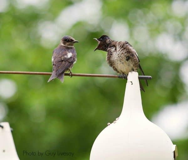 Purple Martins are chatty birds and they eat bugs | https://chloesblog.bigmill.com/welcome-purple-martins-eastern-nc/