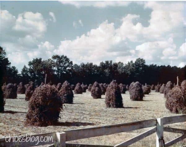 Peanut Stacks on the Farm at Big Mill B&B in 1960