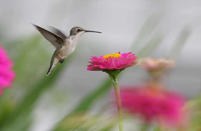 Guy Livesay, Eastern North Carolina photographer, snaps this hummingbird at North Carolina Bed and Breakfast at Big Mill